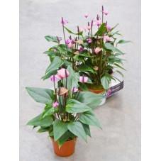 Anthurium fiorino