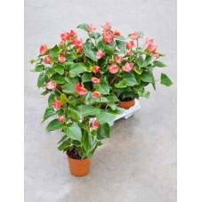 Anthurium vivaro