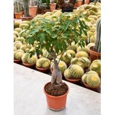 arbre bouteille - brachychiton