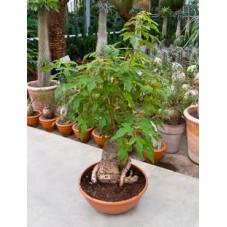 arbre bouteille - Brachychiton - bonzaï