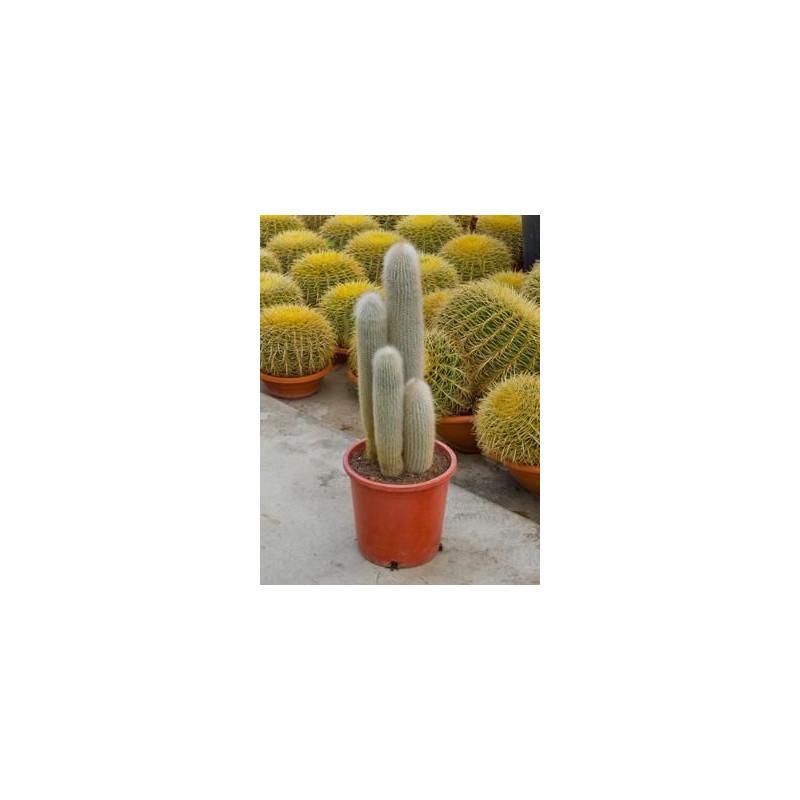vente de cactus cierge cleistocactus strausii. Black Bedroom Furniture Sets. Home Design Ideas