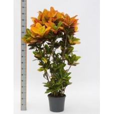 Croton petra - 150 cm