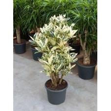 Croton tamara