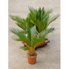 Cycas du Japon - 40 cm - lot de 2