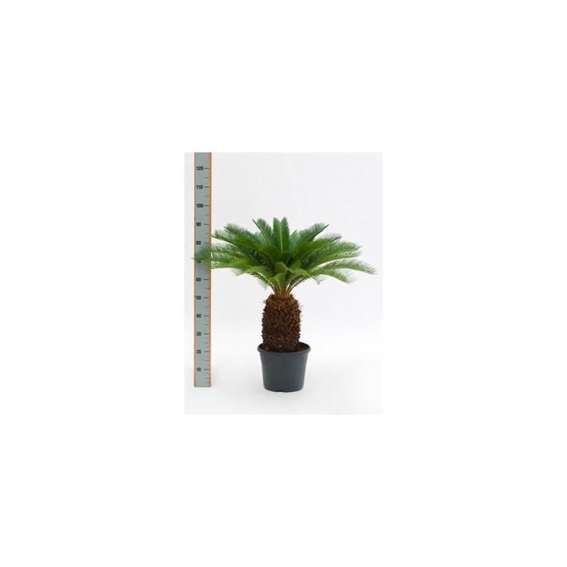 Vente de cycas du japon 90cm cycas revoluta for Vente de plantes sur internet