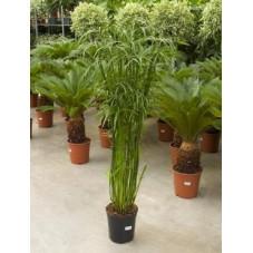Cyperus alternifolius glaber