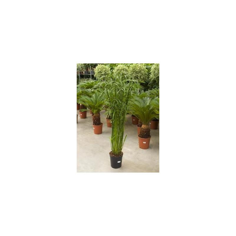 Vente de papyrus cyperus alternifolius - Papyrus plante d interieur ...