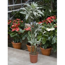 Dracaena white jewel