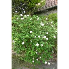 """Vibirnum opulus """" roseum """""""