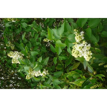 Syringa  (lilas)