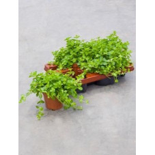 Peperomia rotundifolia ( lot de 2 u. )