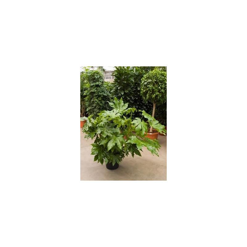 Fatsia japonica ( aralia sieboldii )