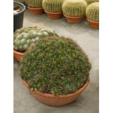 Ferocactus robusta