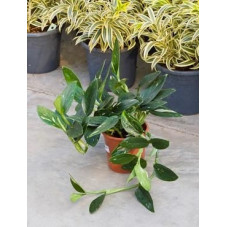 Philodendron cobra