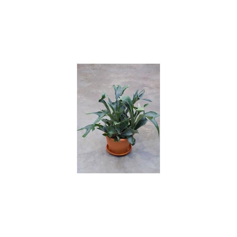 Vente de foug re corne d 39 lan 70 cm platycerium bifurcatum for Fougere interieur