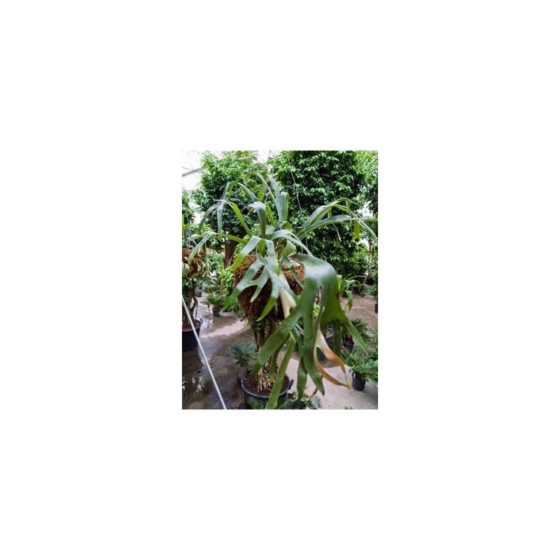Vente de foug re corne d 39 lan suspension platycerium for Fougere d interieur plante