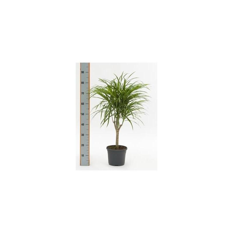 Vente de pleomele anita 60 cm for Plante 60 cm