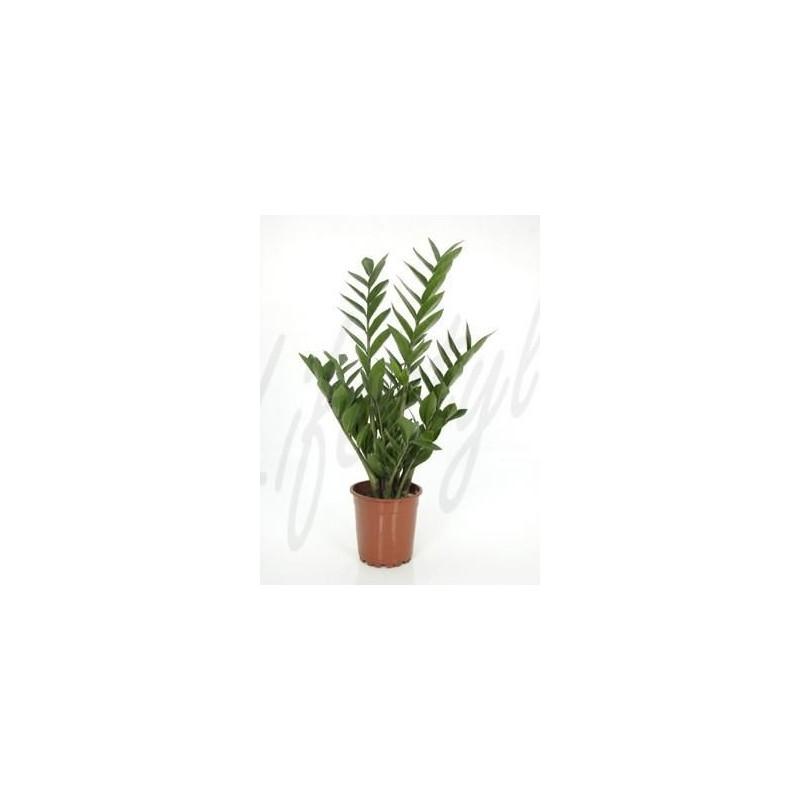Vente de zamioculcas zamiifolia for Zamioculcas exterieur