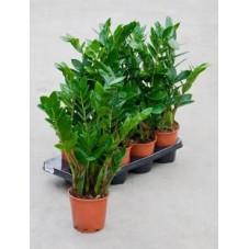 Zamioculcas zamiifolia  ( lot de 2 u. )
