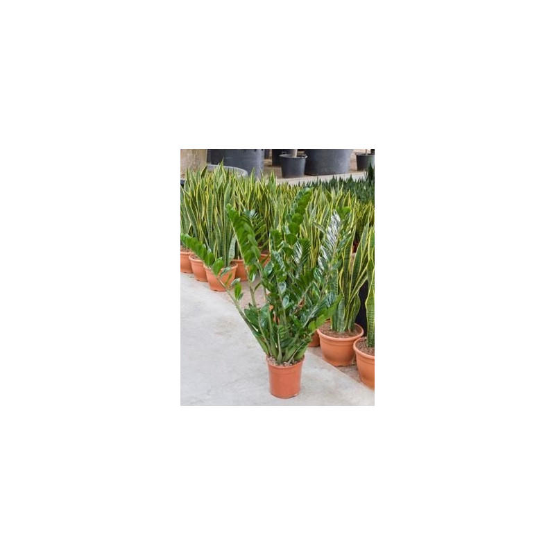 Vente de zamioculcas zamiifolia 110 cm for Zamioculcas exterieur