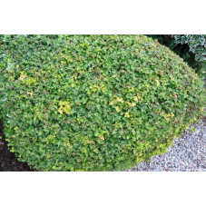 Rubus tricolor