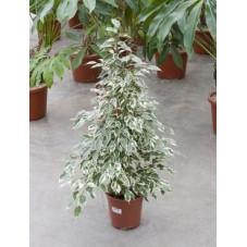 Ficus de Gantel