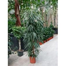 Ficus ali
