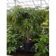 Ficus ali tige