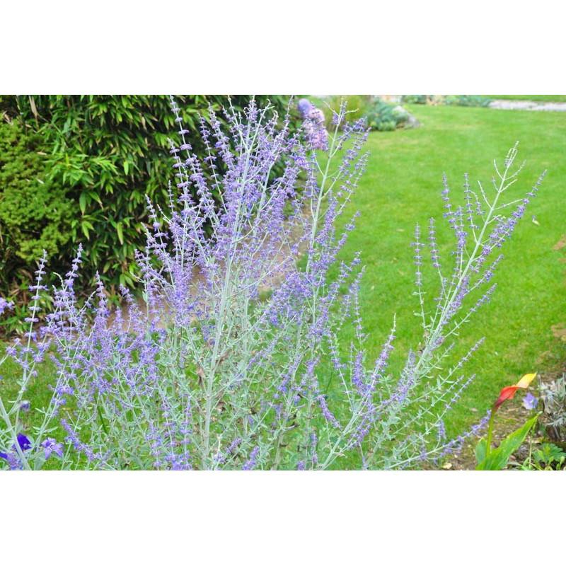 Perovskia atriplicifolia - blue spire