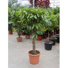 Ficus amstel king  torsadé