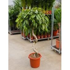Ficus amstel king   - vrille