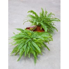Nephrolepis green lady ( le lot de 2 u. )