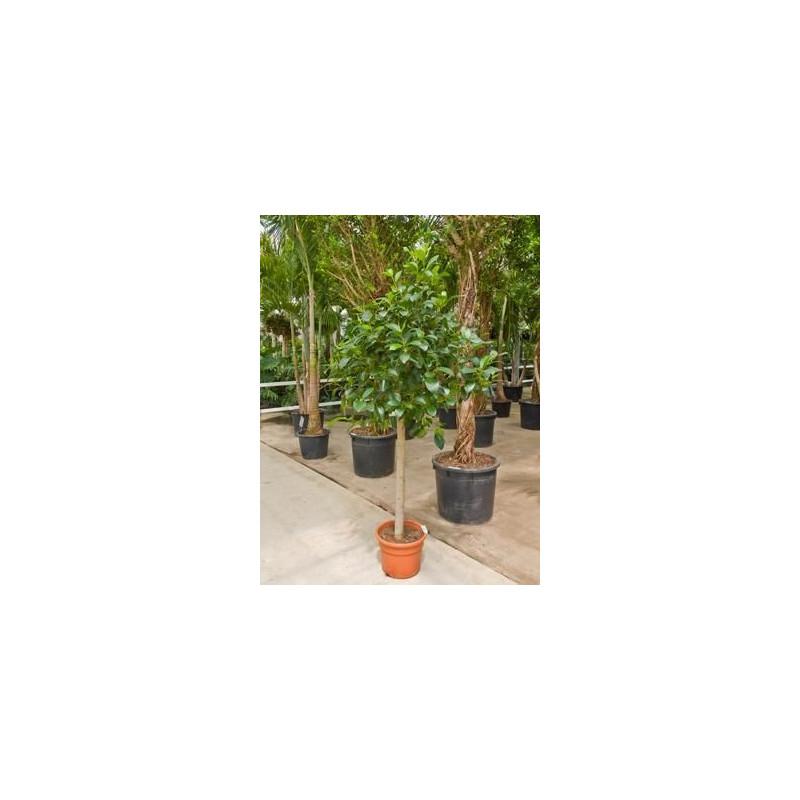 Ficus australis tige