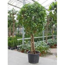Ficus columnar tige