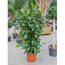 Ficus ciathistipula