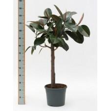 Ficus elastica abidjan  -  tige