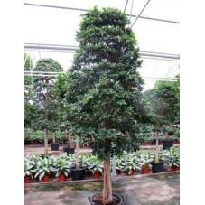 Ficus fibrosa  - tige pyramide