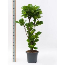 Ficus lyrata   tige