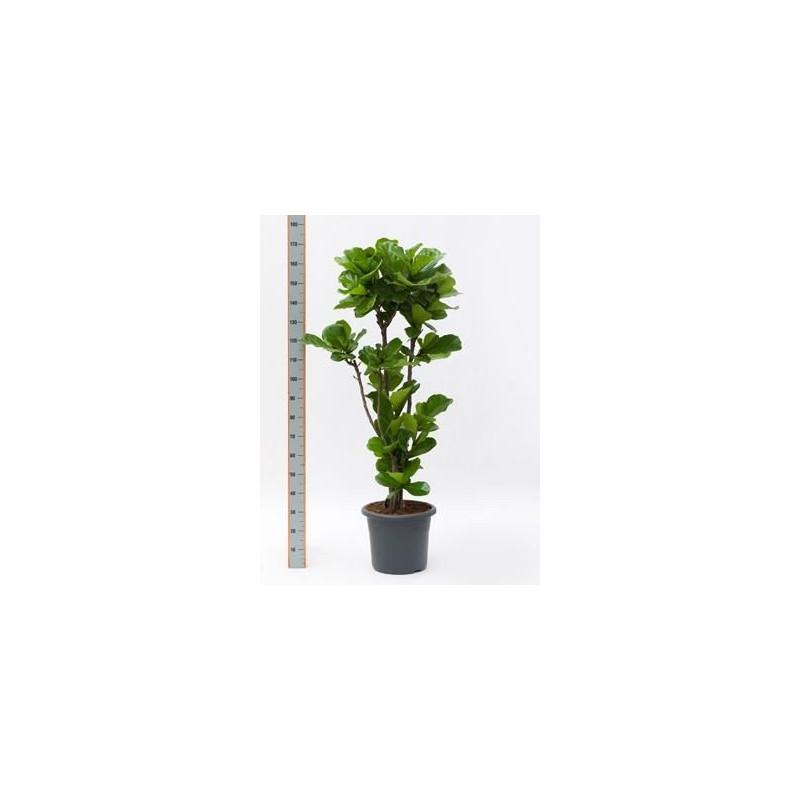 Vente de ficus lyrata tige 180 cm for Accessoire plante interieur