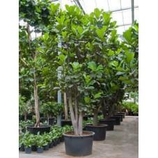 Ficus lyrata  -  ramifié tronc