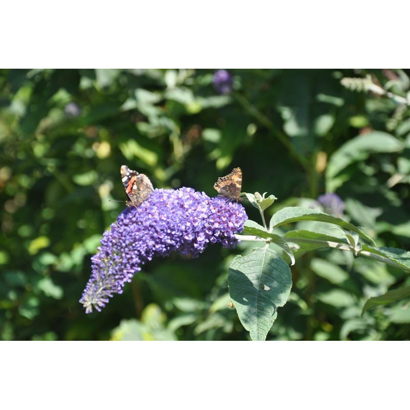 Buddleja davidii (arbre à papillon )