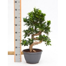 Ficus microcarpa compacta  tige