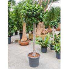 Ficus microcarpa   boule sur tige