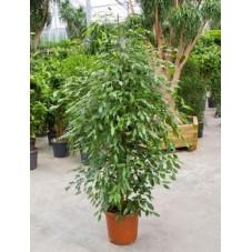 Ficus Monique