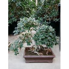 Ficus panda -  bonsaï