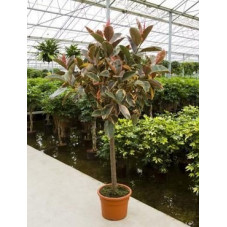 Ficus robusta belize   tige