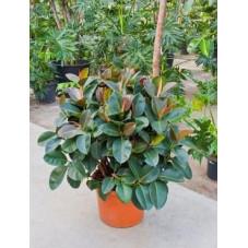 Ficus robusta  ramifié