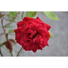 Rosier rouge polyantha - europeana