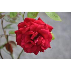 Rosier rouge polyantha - europeana