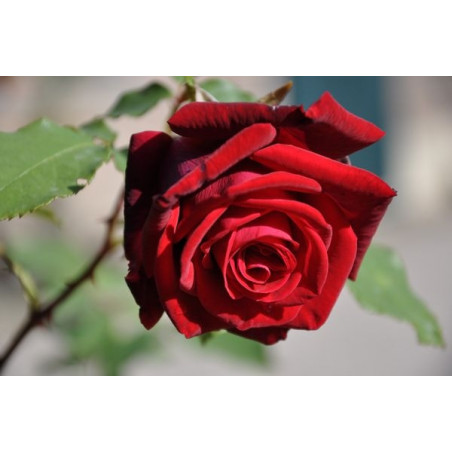 Rosier rouge grosses fleurs - monsieur Lincoln